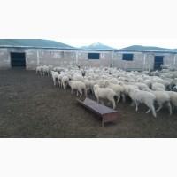 Овцы, Бараны на экспорт, Романовские, Меринос