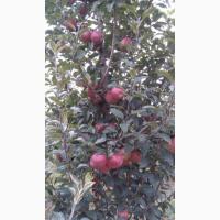 Продам яблука та саджанці. Велика кількість