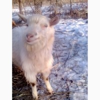 Заананский козёл 6 месяцев