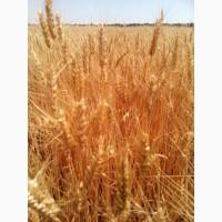 Пшеница Ампер - новинка полукарликовый сорт института ЛИСТ