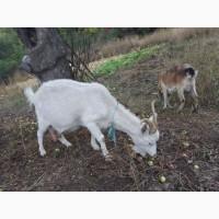 Продам коз козлят