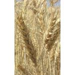 Насіння ярої пшениці Рання 93 (еліта, І-репродукція)