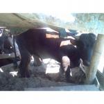 Продам быка в Крыму