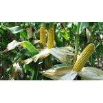 Продам семена кукурузы Марсель