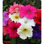 Семена петунии крупноцветковой (Китано)