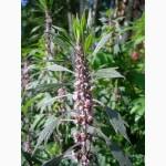 Продам лекарственные травы: Пустырник, Репяшок, Скумпия кожевенная лист