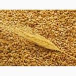 З А К У П А Е М зерновые культуры