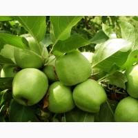 Яблоки от производителя Зимнее Лимонное