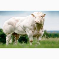 Генетичний матеріал биків породи Бельгійська Блакитна