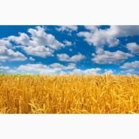 Закупаем пшеницу.По всей Украине