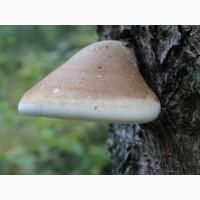 Продам гриб трутовик березовий (ціна за 1 кілограм)