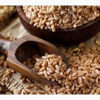 Куплю Пшеницу в Днепропетровске и ближайших районах