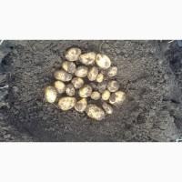 Продам насіневу картоплю сортів Наташа, Гранада, Королева Анна, Белороса