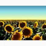 Продам семена подсолнечника Украинский F1