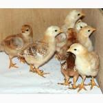 Продам цыплят, индюшат, утят, гусят, мулардов