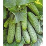 Продам семена Огурец Маша F1 Семинис