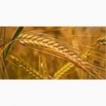 Покупаем пшеницу, ячмень, кукурузу и другие зерновые культуры