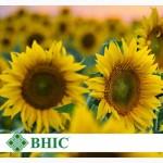 Украинское солнышко ультраранний гибрид на пожнивный посев