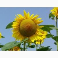 Насіння соняшнику гібриду Толедо (106 - 109 дн.) толерантний до гранстару