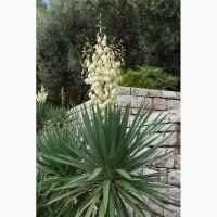 Купить Питомник выращивает Саженцы Юкки и Сантолини декоративно-экзотические растения опт