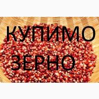 Закуповуємо кукурудзу у сільгоспвиробників, по Хустському районі