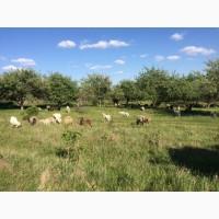Породам коз и овец большых и малых