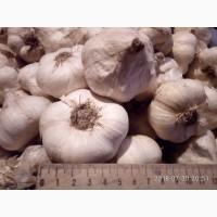 Підприємство реалізує оригінальне насіння часнику сорту Мессідор оригінал 100%