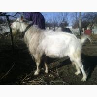 Продам козла Полтавской молочной породы