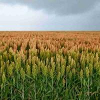 Семена зернового сорго Оггана, 105-115 дней