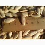 Посевной материал тыквы сероволжская и болгарка 1 репродукции