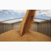 Закупаем зерновые на переработку