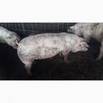 Продаж рем.хряков и ремонтных свинок(Ф1)разных пород мясного направления