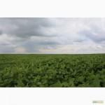 Продаем семена посевной сои сорта Apollo, устойчивого к раундапу