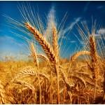 К У П Л Ю зерновые культуры, Украина