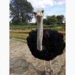 Продам страусы СРОЧНО