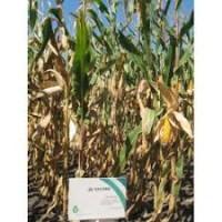 ДБ Хотин семена кукурузы