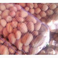 Продам картофель Бела роса оптом и в розницу
