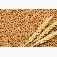 Купим пшеницу, кукурузу, сою, сорго, лён, рапс, Киев