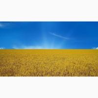 Підприємство на постійній основі закуповує пшеницю: 2 клас, 3кл і фураж. Рівненська обл