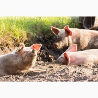 Куплю свиней свиноматок