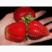 Полуниця Мармелада (Marmolada Strawberry) саджанці полуниці Фріго