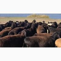 Продам племенных баранов, ярок, маточное поголовие