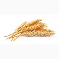 Куплю пшеницу по Черниговской области от 20 т за наличный расчет