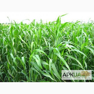 Суданка тонкостебельна семена