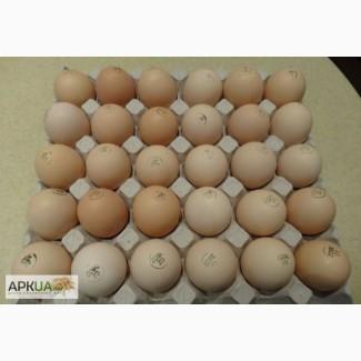 Яйця інкубаційні бройлерів КОББ-500