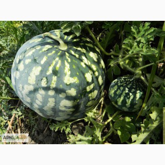Продам семена Арбуза, Одесская обл, Измаил