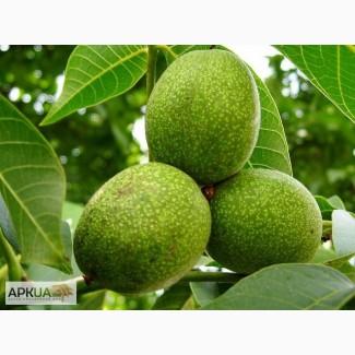 Зелений грецький горіх Зеленый грецкий орех