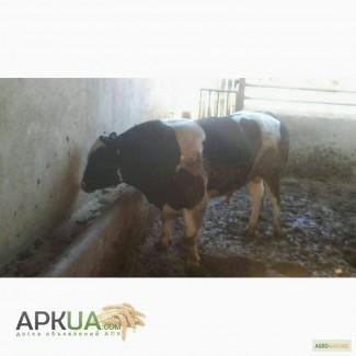Куплю ВРХ (бики, корови, коні) у населення і господарств