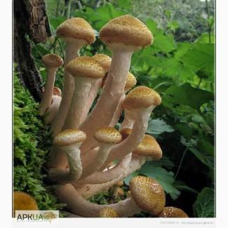 Куплю свіжий гриб опеньки.Чернігівська обл