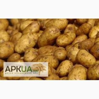 Продаём товарный картофель отличного качества